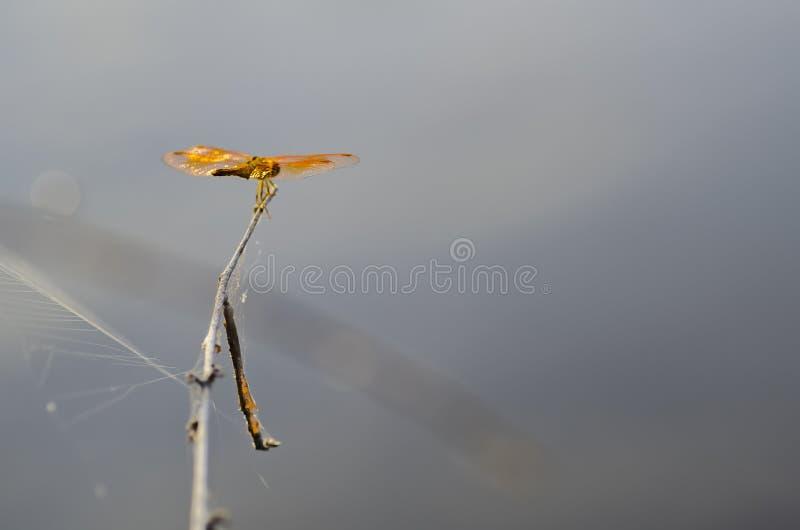 Makro- strzał, dragonfly w natury siedlisku zdjęcia royalty free