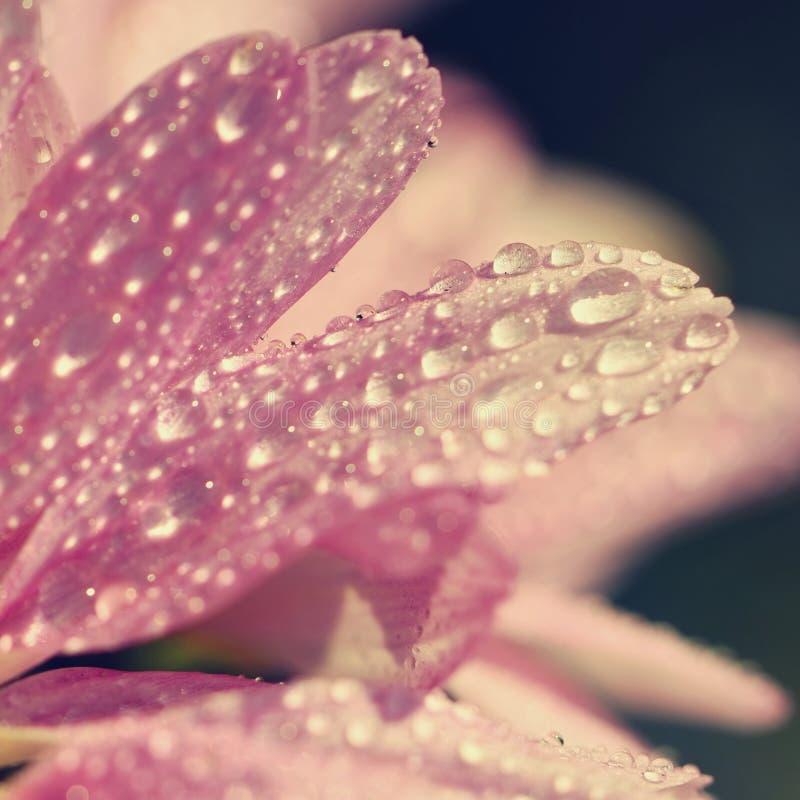 Makro- strzał krople na kwiacie Pięknych naturalnych menchii zamazany tło zdjęcia stock