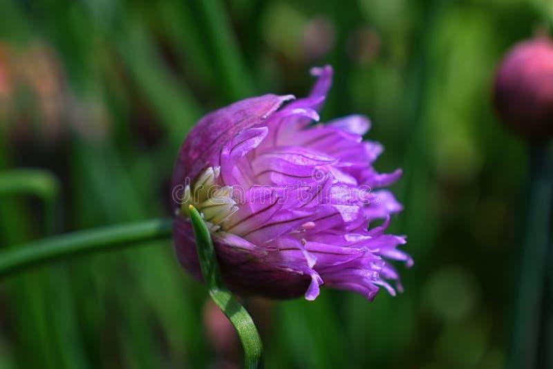 Makro- strzał kwiat w pełnego kwiatu fazy trawy rośliny szczypiorków Allium schoenoprasum Szczegół płatki to kwiat z brigh obrazy royalty free