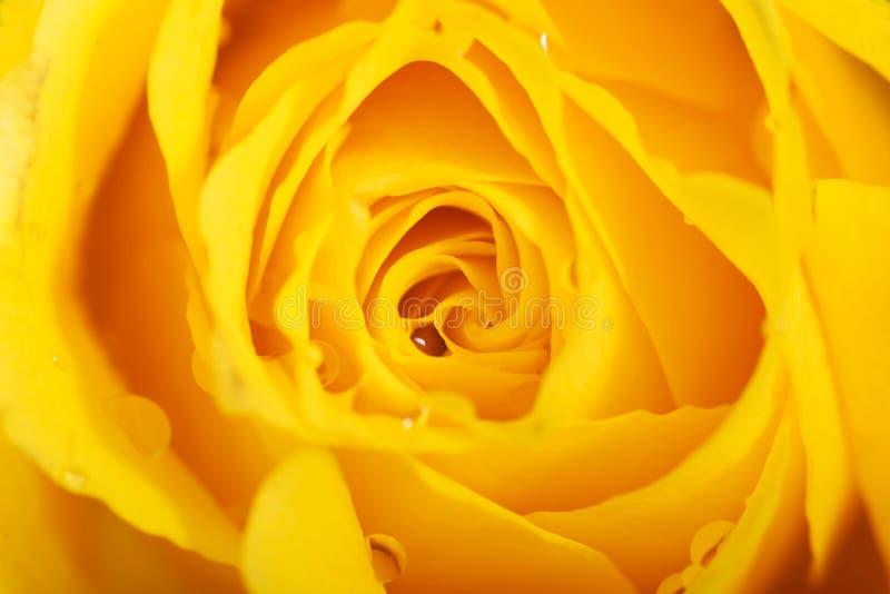 Makro- strzał na róża płatkach. obrazy stock