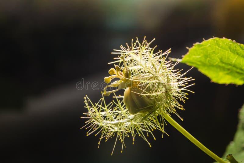 Makro- strzał Passiflora foetida, Cuchnący passionflower zdjęcie stock