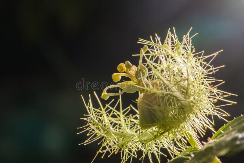 Makro- strzał Passiflora foetida, Cuchnący passionflower obrazy royalty free