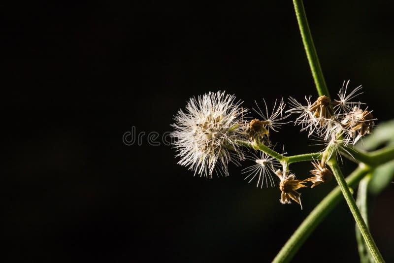 Makro- strzał Passiflora foetida, Cuchnący passionflower zdjęcia stock