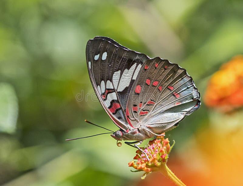 Makro- strzał Pięknego Euthalia lubentina Baron Jarmarczny motyl fotografia stock