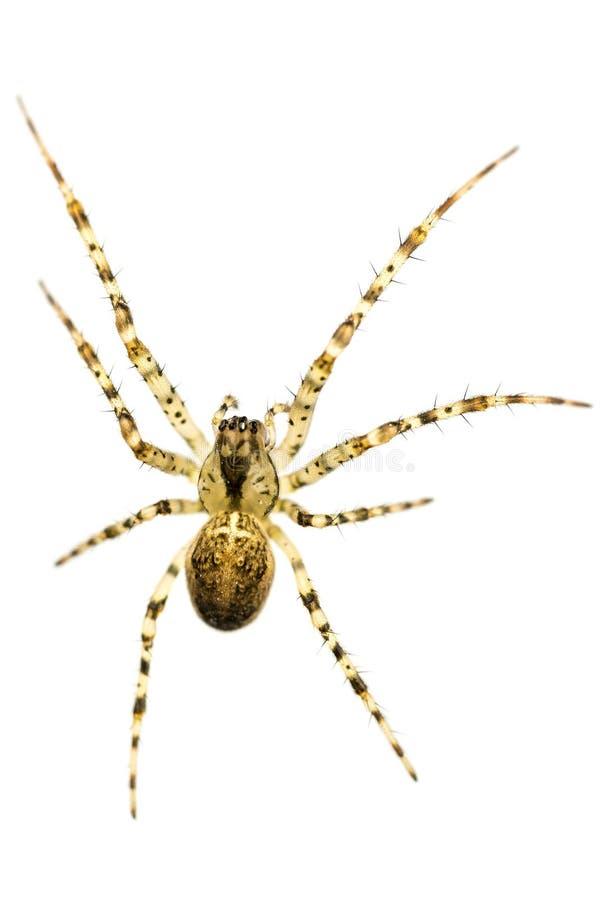 Makro- strzał przecinający pająk obraz stock