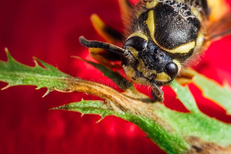 Makro- strzał pszczoły głowa na czerwonym kwiacie zdjęcia stock