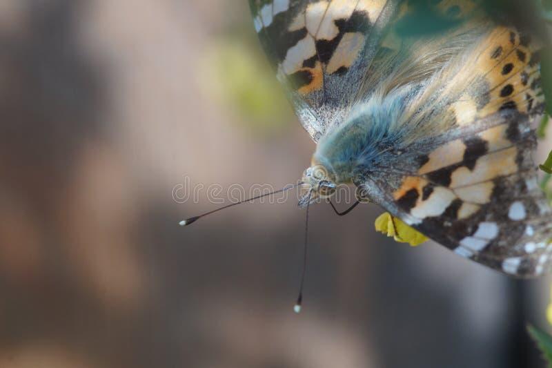 Makro- strzelanina Motyli nymphelid gatunków Vanessa cardui obrazy royalty free