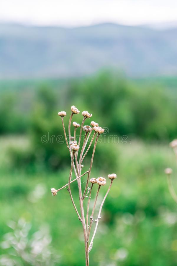 Makro- strzelanina ro?liny Natura Tekeli Alatau g?ry kazakhstan zdjęcie stock