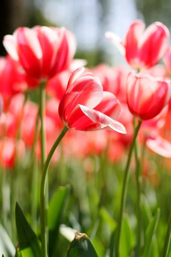 Makro- strzelanina Tulipa zdjęcia royalty free
