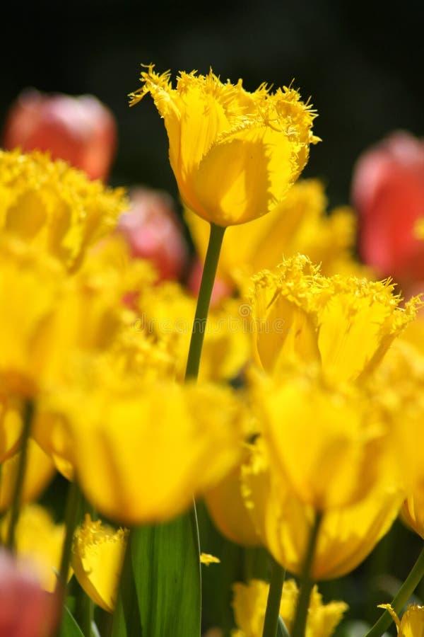 Makro- strzelanina Tulipa obraz royalty free