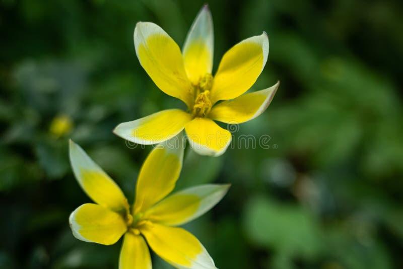 Makro- strzelanina Tulipanowy kwiat niezwyk?y kolor na zamazanym zielonym tle zdjęcia royalty free