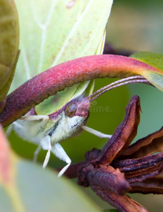 Makro- szczegół głowa motyl - pospolity brimstone fotografia royalty free