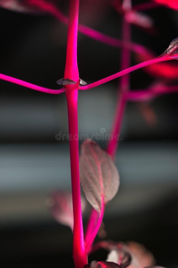 Makro- szczegół purpurowy tropikalnej rośliny ` iresine herbstii aureoreticulata ` fotografia stock