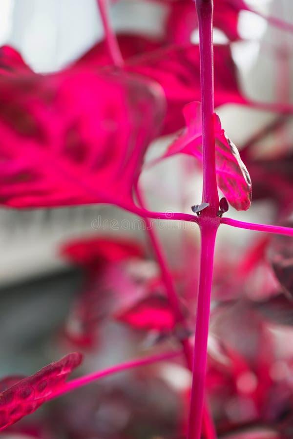 Makro- szczegół purpurowy tropikalnej rośliny ` iresine herbstii aureoreticulata ` obraz royalty free