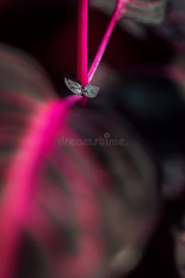 Makro- szczegół purpurowy tropikalnej rośliny ` iresine herbstii aureoreticulata ` obrazy royalty free