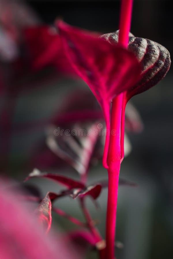Makro- szczegół purpurowy tropikalnej rośliny ` iresine herbstii aureoreticulata ` zdjęcie royalty free