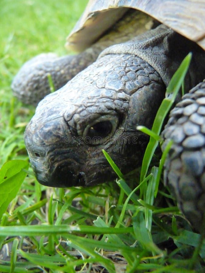 Makro- szczegółu zakończenie up Grecka żółwia Tortoise głowa obrazy royalty free