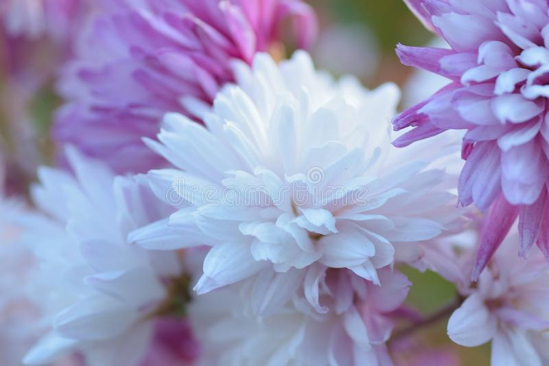 Makro- tekstura biała & purpura barwiąca dalia kwitnie obraz stock