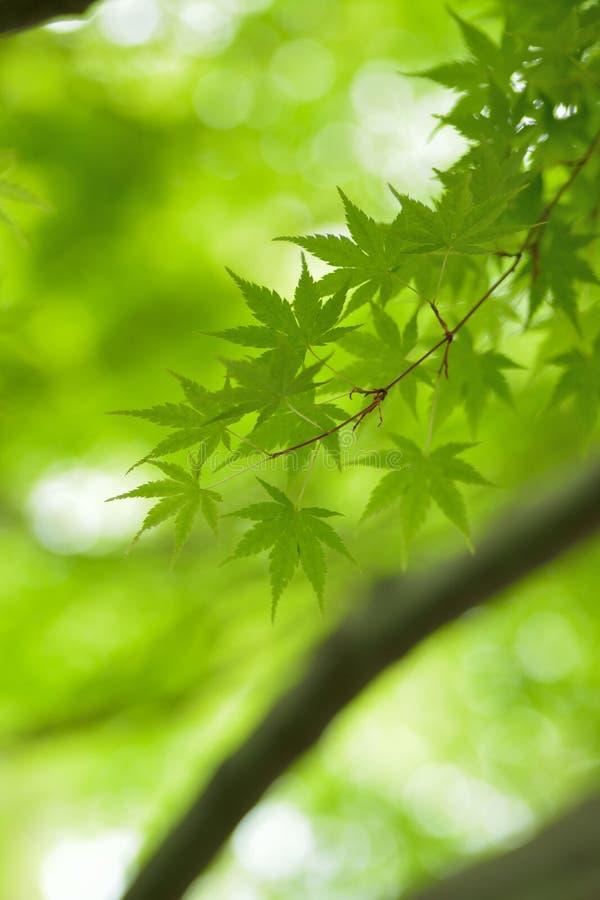 Makro- tekstura ?wiezi zieleni Japo?scy li?cie klonowi obrazy stock