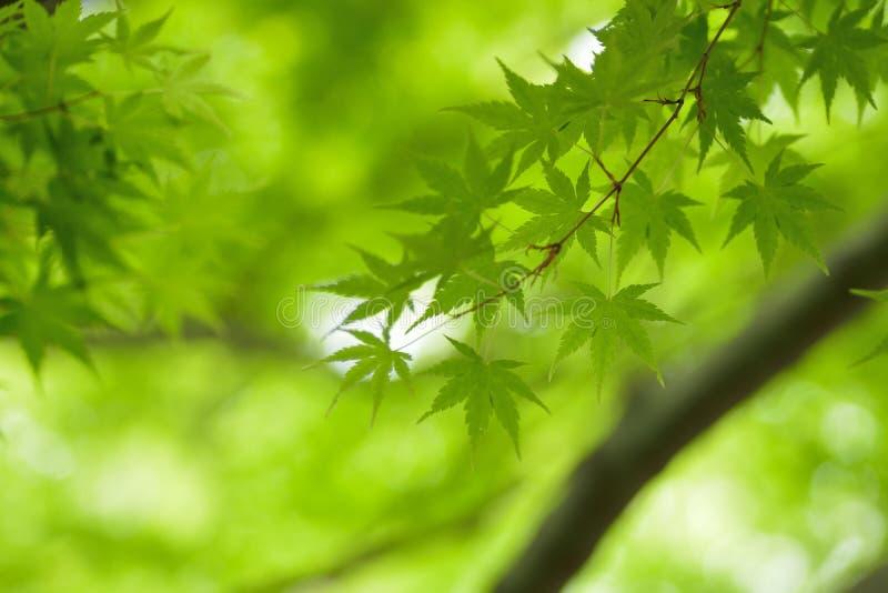 Makro- tekstura ?wiezi zieleni Japo?scy li?cie klonowi zdjęcie stock