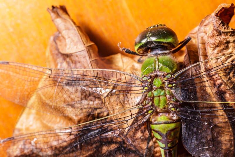 Makro tote Libelle auf totem links stockbild
