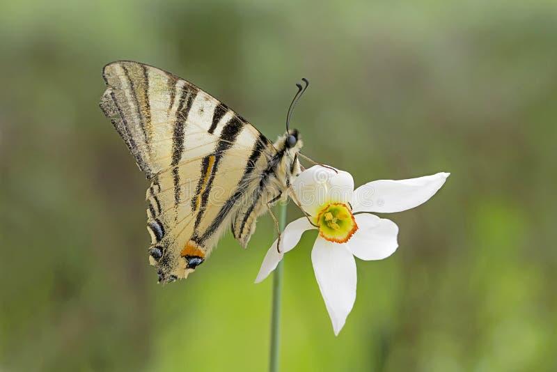 Makro upp av den knappa Swallowtail fjärilen royaltyfria foton