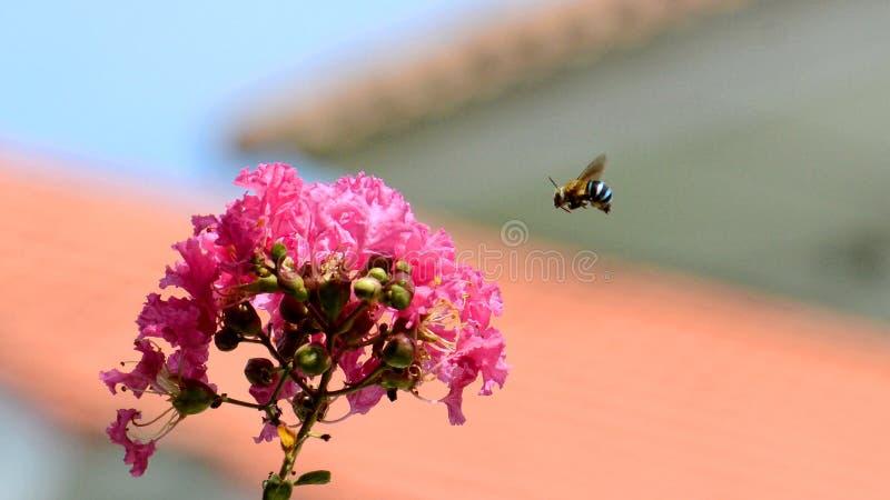 Makro von Amegilla-cingulata oder von blau-mit einem Band versehenem Bienenfliegen lizenzfreie stockbilder