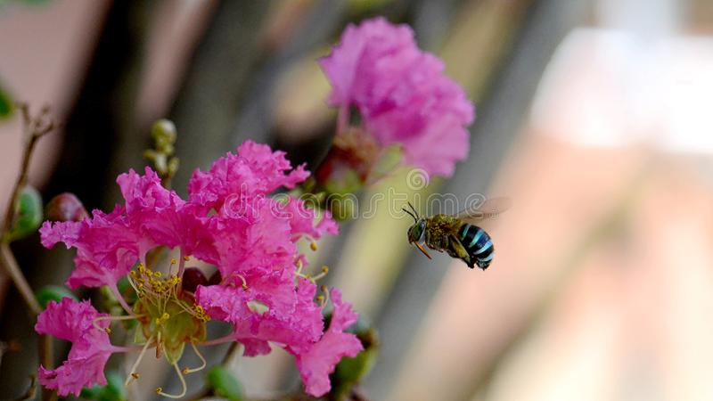 Makro von Amegilla-cingulata oder von blau-mit einem Band versehener Biene stockfoto
