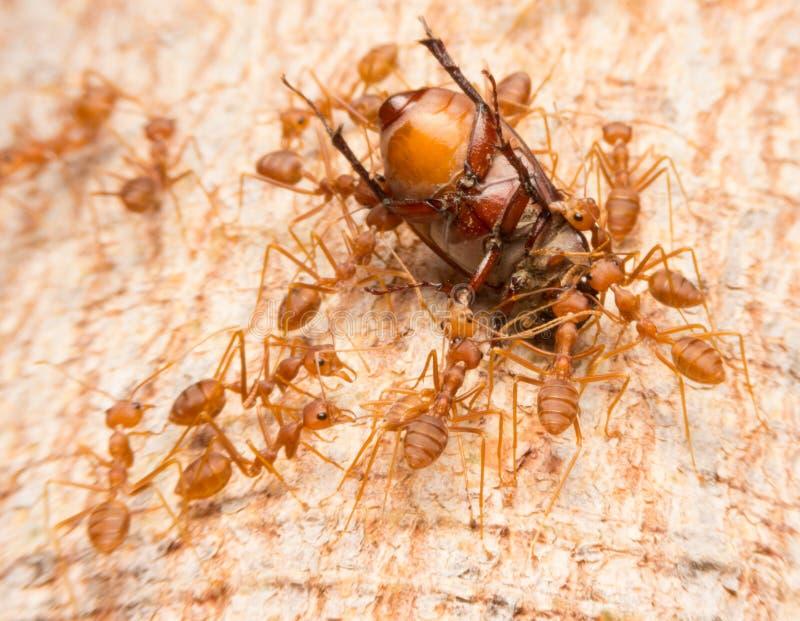 Makro von den tropischen Ameisen des roten Feuers, die ein Opfer fangen stockbild