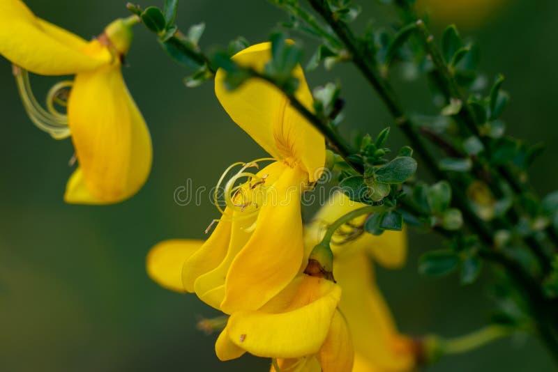 Makro von gelben Genistablumenstempeln lizenzfreies stockbild