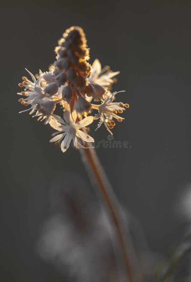 Makro von Schaum-Blume Cygnet Tiarella lizenzfreie stockfotografie