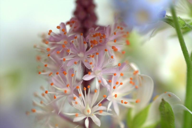 Makro von Schaum-Blume Cygnet Tiarella stockfotos