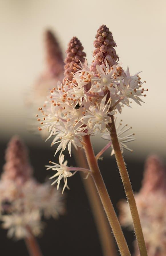 Makro von Schaum-Blume Cygnet Tiarella stockfoto