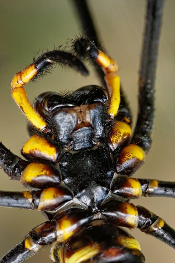 Makro von Spinne Nephila-pilipes stockbild