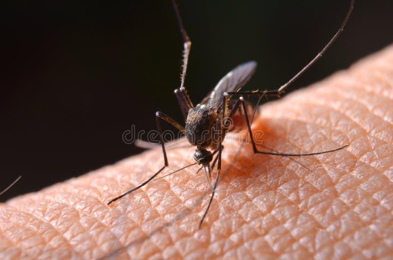 Makro von virulenten Moskitos auf menschlicher Haut lizenzfreies stockbild