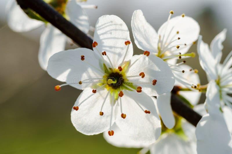 Makro von weißen Kirschblüten auf einem Zweig, hintergrundbeleuchtet durch Sonnenlicht stockbild