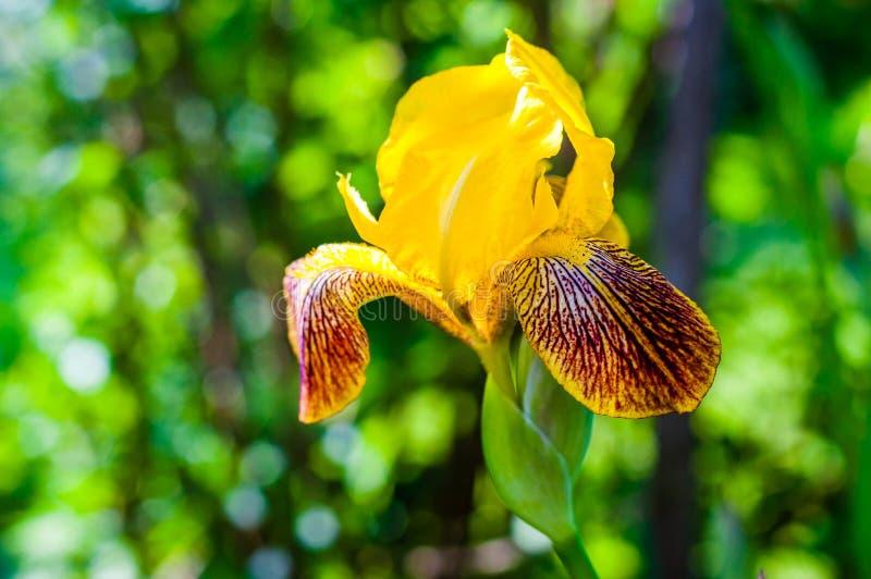 Makro- w górę wspaniałego Irysowego kwiatu pomarańczowej czerwieni kwitnienia żółtego pączka zdjęcia stock