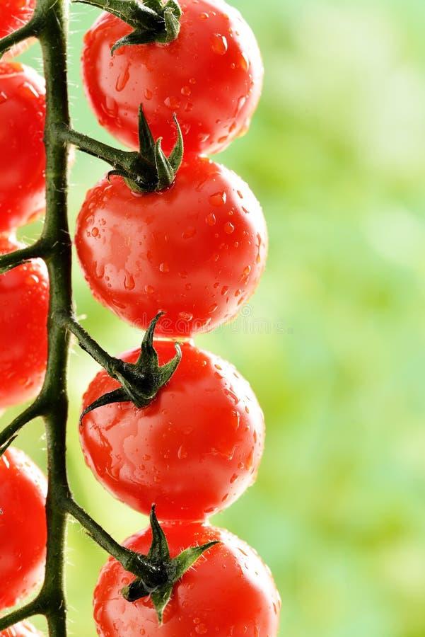 Makro - Wasser-Tröpfchen auf Tomatenpflanze lizenzfreies stockfoto