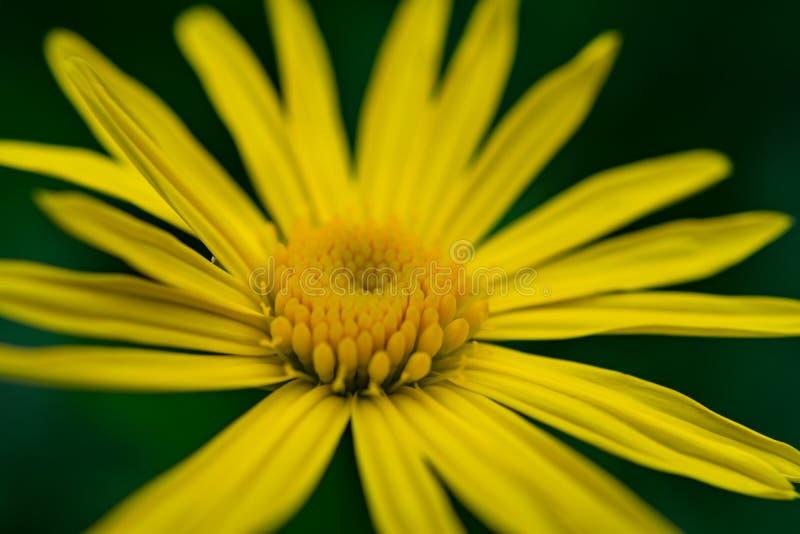 Makro- widok Żółta stokrotka obraz stock