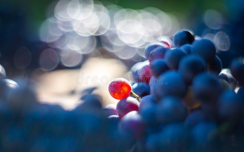Makro- widok błękitni winogradów winogrona na wino baryłce zdjęcia royalty free