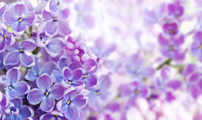 Makro- widok kwitnie Syringa lilego krzaka Wiosna krajobraz z wiązką fiołkowi kwiaty bzy kwitnie rośliny obrazy royalty free