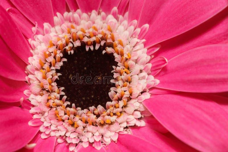 Makro- widok na różowym gerber tła głęboka ostrość odizolowywająca nad malinowym biel obraz royalty free