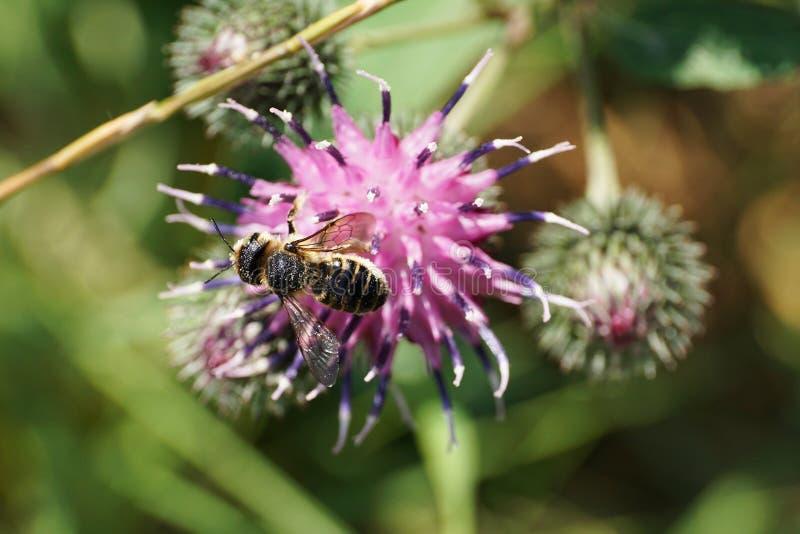 Makro- widok od above Kaukaska szarości pszczoła Hymenoptera obrazy stock
