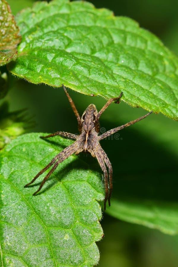 Makro- widok od above szarość pająka Arachnida na a obraz royalty free