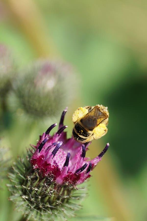 Makro- widok od tyły kostrzewiasty Kaukaski dziki pszczoły Macropis fulvi obrazy royalty free