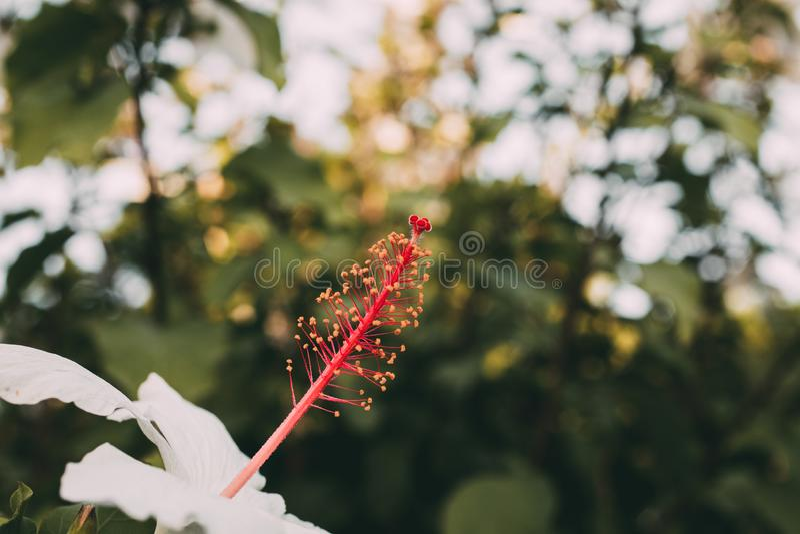 Makro- widok poślubnika białego kwiatu pistil z selekcyjną ostrością i stamen Zamyka w górę widoku biały poślubnika Rosa pistil zdjęcia stock