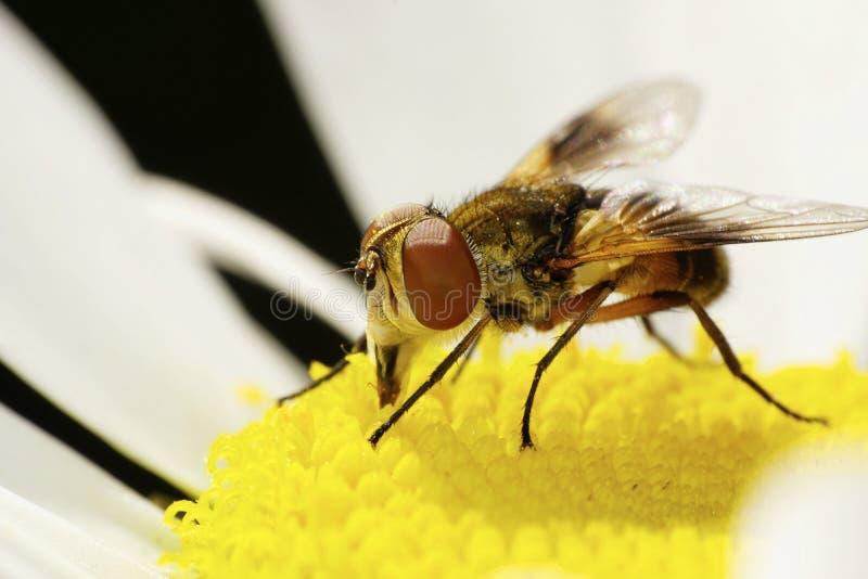 Makro- widok przód wielki Kaukaski kwiat f i strona zdjęcia stock