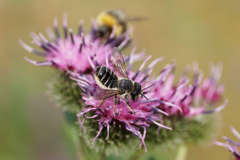 Makro- widok puszysta Kaukaska pszczoły Megachile rotundata ulotka o zdjęcie royalty free