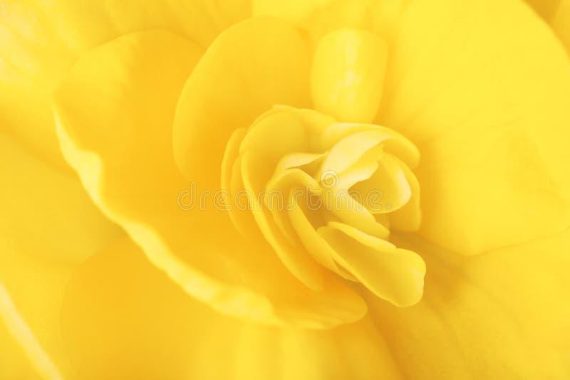 Makro- wizerunek żółty begonia kwiat obraz royalty free