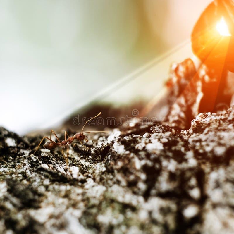 Makro- wizerunek akcja mrówki, insekt, natura, Czerwona mrówka, tkacz mrówki obraz stock